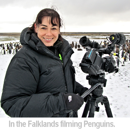 filming penguins in the Falklands